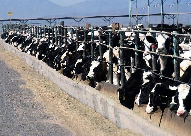 Cómo identificar enfermedades en ganado bovino