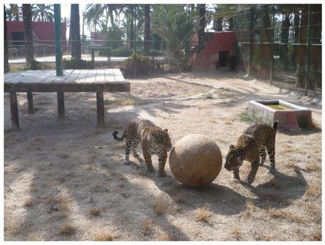 enriquecimiento ambiental de felinos con pelota gigante.