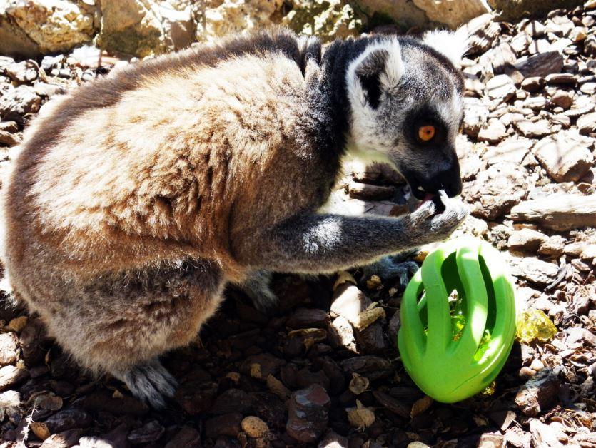 Lémures Enriquecimiento ambiental