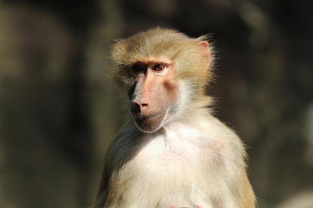 Imagen de mono babuino