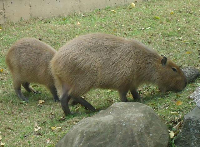 El carpincho, capibara o chigüire2 (Hydrochoerus hydrochaeris)