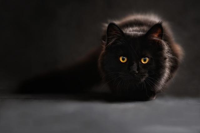 Gato Siamés. Vídeo de 3 juegos de enriquecimiento ambiental gatos.