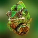 Localizar enfermedad y estrés en reptiles. Camaleón