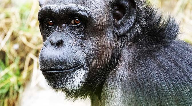 Conductas curiosas las de este chimpancé.