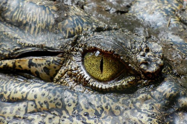 Localizar enfermedad y estrés en reptiles. Ojo de cocodrilo.
