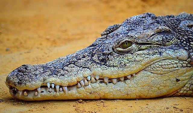 Localizar enfermedad y estrés en reptiles. Cocodrilo.