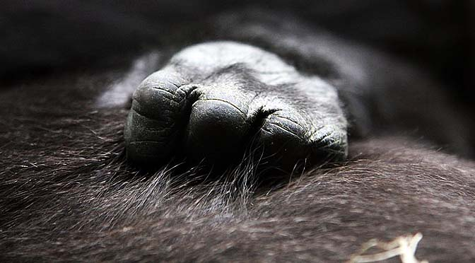Gorilas que cazan trampas