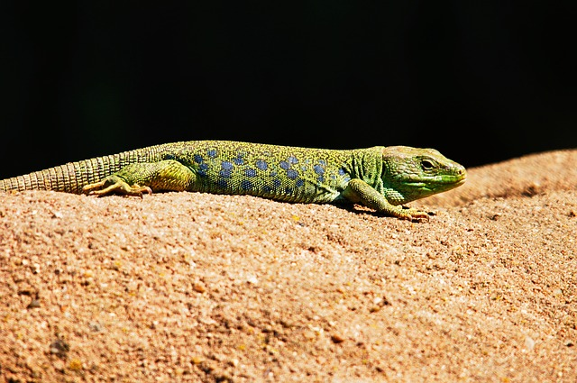 Patologías asociadas a la alimentación de los reptiles. lagarto Esmeralda.