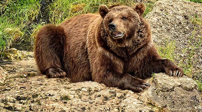 Enriquecimiento ambiental con osos pardos