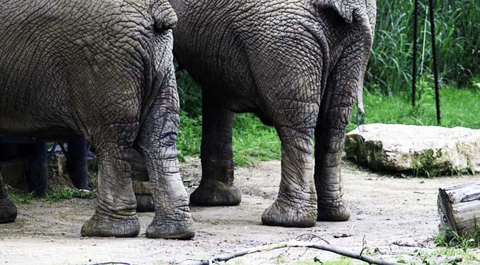 Elefantes van al podólogo.