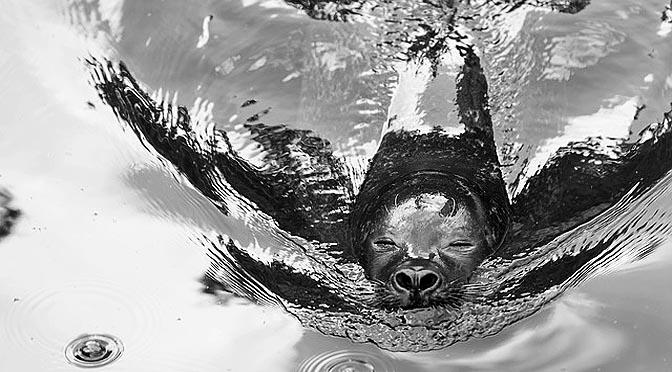Entrenar leones marinos para un Chequeo médico.