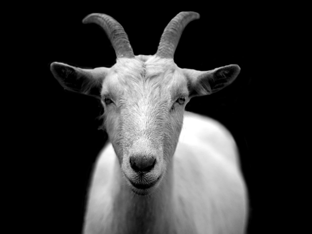 Cortisol salival. Imagen de cabra.