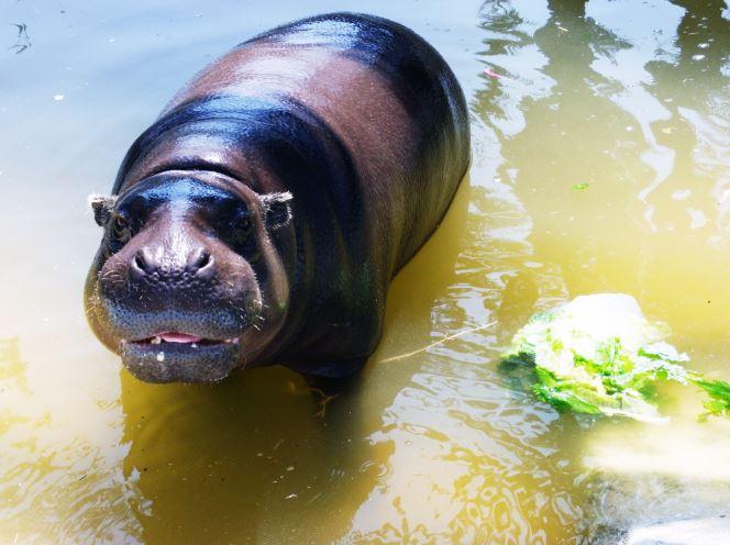 Helados para Hipopótamos como enriquecimiento ambiental