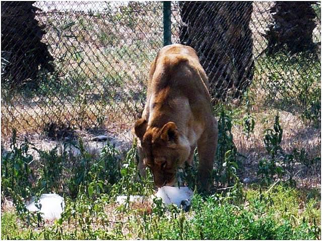 A los leones les encantan los helados