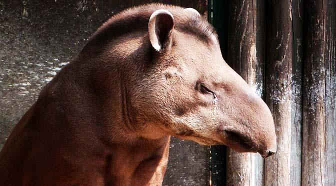 Enriquecimiento ambiental con tapires