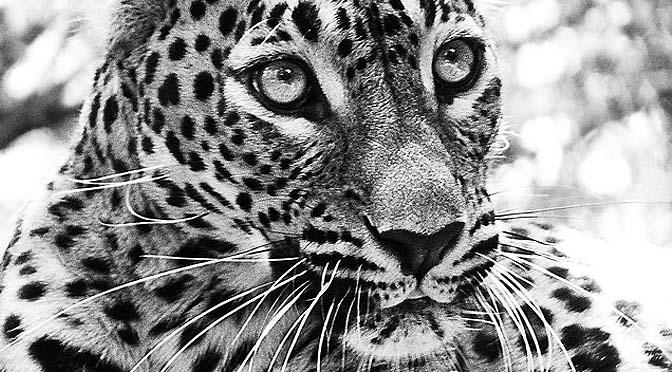 Juego de caza submarina con jaguar.
