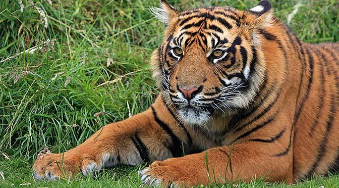 Juego de enriquecimiento con tigres