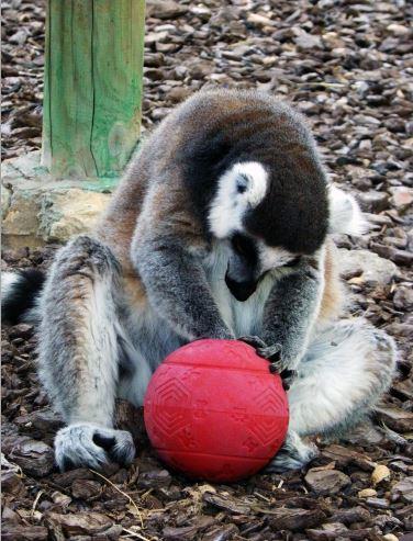 Lémur jugando con un Kong.