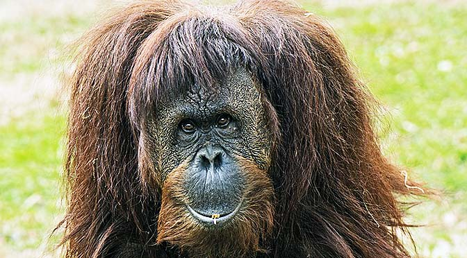 Los orangutanes y las nuevas tecnologías se dan la mano. En el núcleo zoológico Jungle Island de Miami, además del personal laboral, los orangutanes utilizan las nuevas tecnologías, en concreto tabletas.
