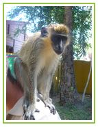 Ficha de mono Verde. Enriquecimiento ambiental.