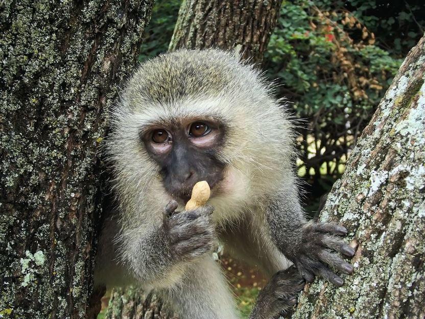 Mono verde Enriquecimiento ambiental