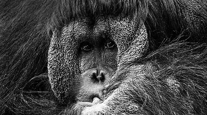 Nido de orangután «los monos también se hacen la cama»