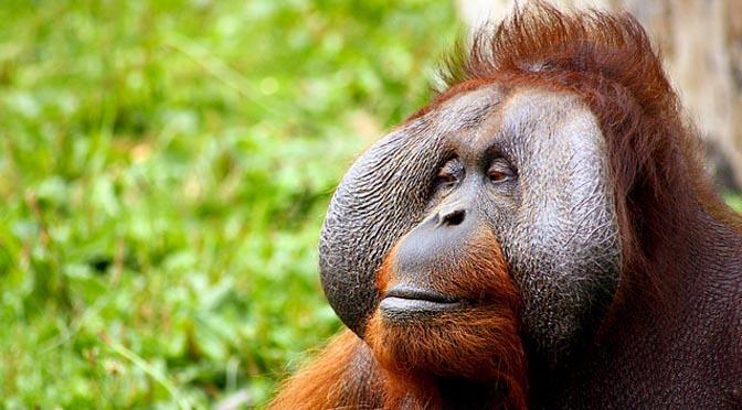 Orangutanes y tabletas