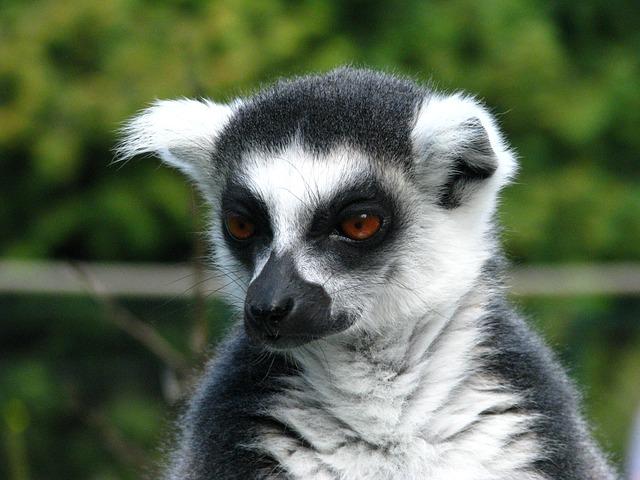 Vídeo de enriquecimiento ambiental con lemures