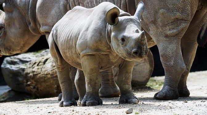Simulacro en el Zoo: ¿ Y si se escapa un Rinoceronte?