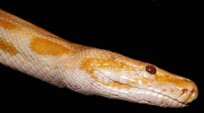 Tratamiento de antibióticos a una serpiente por problemas de infección