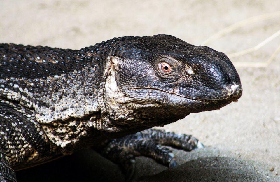 Reptiles: varano enriquecimiento ambiental (2/2)