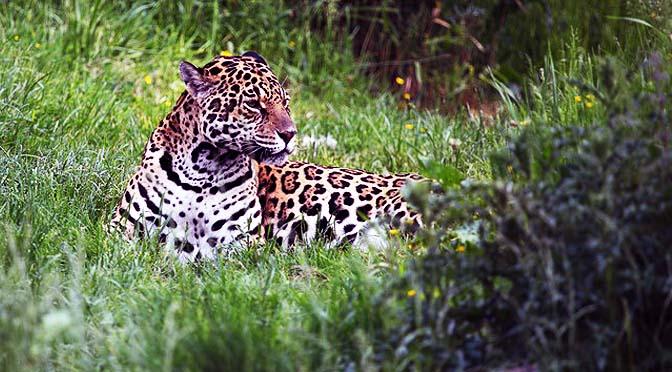 Enriquecimiento Con Jaguares. 7 Vídeos.