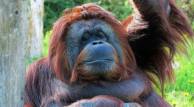 Enriquecimiento con orangutanes.