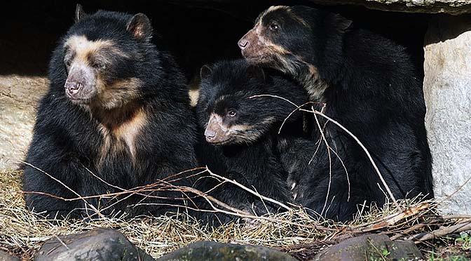Enriquecimiento con osos.