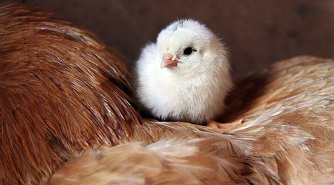 Enriquecimiento con pollos de granja y consumo.