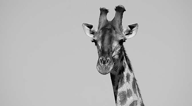 Entrenamiento de jirafas.