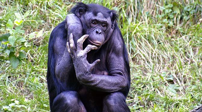 Etológía del bonobo.