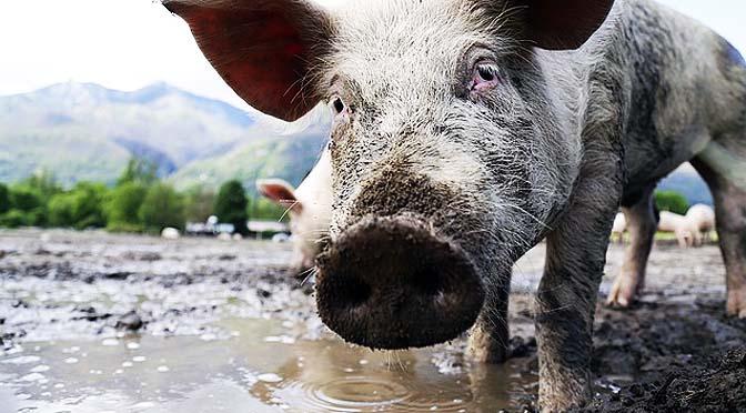 Guía de bienestar porcino.
