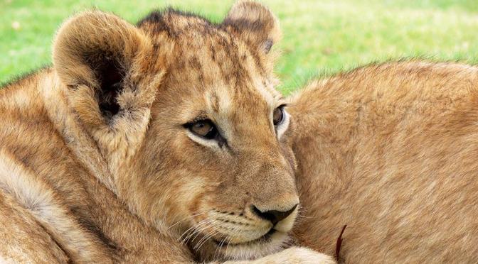 2 crías de león exiliadas en Gaza.