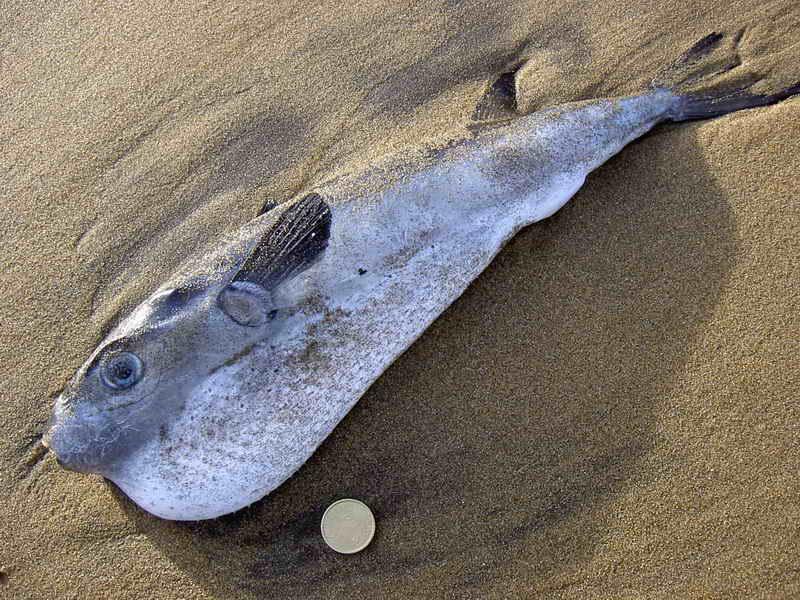 Especies invasoras marinas