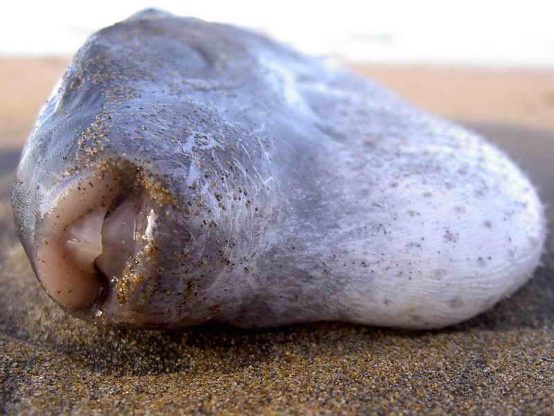 Tamboril oceánico (Lagocephalus lagocephalus) Foto asturnatura.com