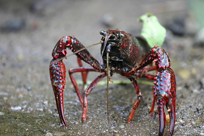 Imagen de cangrejo de rio americano. Foto Wikipedia.