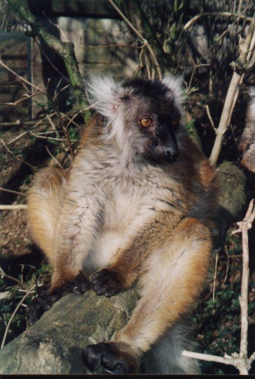 Lémur negro. Foto: De Finfinlem.