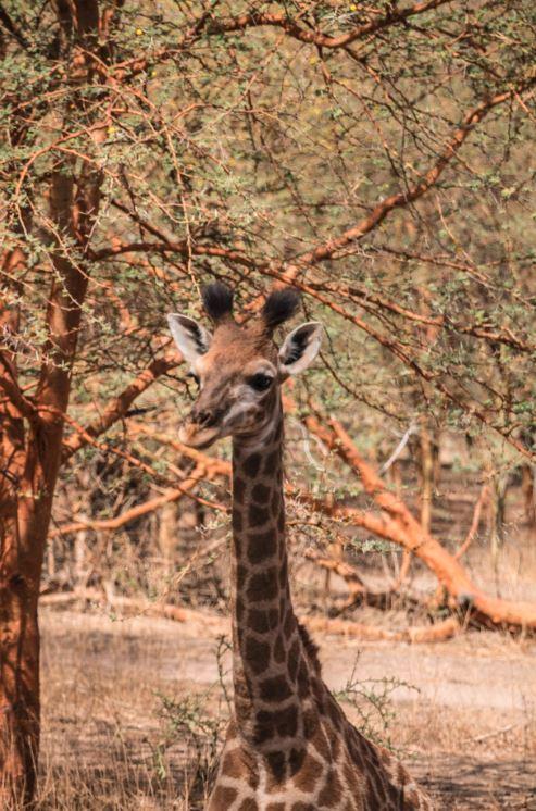 Cría de jirafa en la reserva de Bundia.