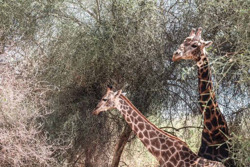 Pareja de jirafas, macho y hembra.