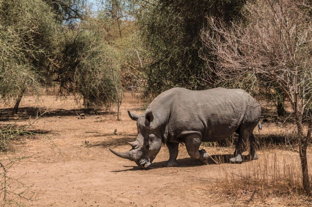 Rinoceronte en Bandia.