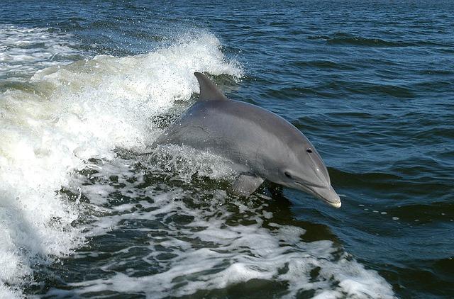 Delfín mular en libertad.
