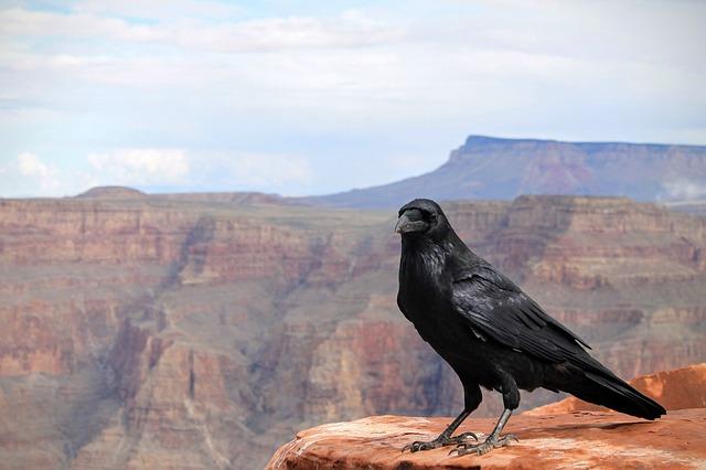 Foto de cuervo.