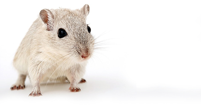 Enriquecimiento con ratas. manejo y cuidados.