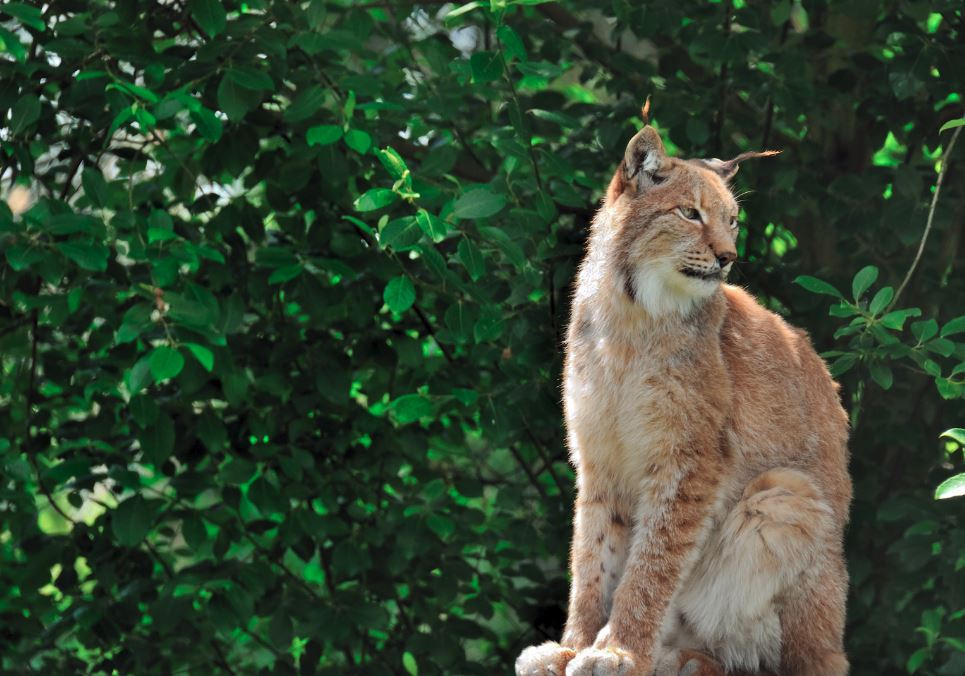 By Steve Slater - Iberian Lynx, CC BY 2.0